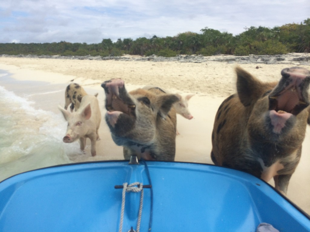 The hungry pigs of Big Major Cay